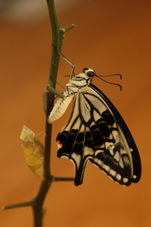 'living organism': Emergence of Swallowtail