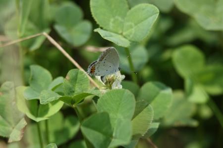 spawning: Azul de cola corta del desove en el tr�bol Foto de archivo