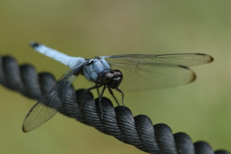 imago: Male giant Shiokaratonbo perched on top of the black rope
