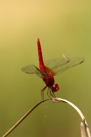 crocothemis: Male scarlet dragonfly to handstand Stock Photo