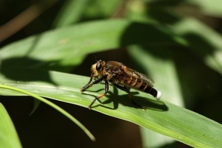promachus: Male Promachus yesonicus