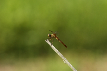crocothemis: Female scarlet dragonfly Stock Photo