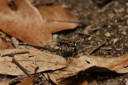 tiger beetle: Tiger beetle Archivio Fotografico