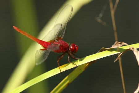 crocothemis: Male scarlet dragonfly Stock Photo