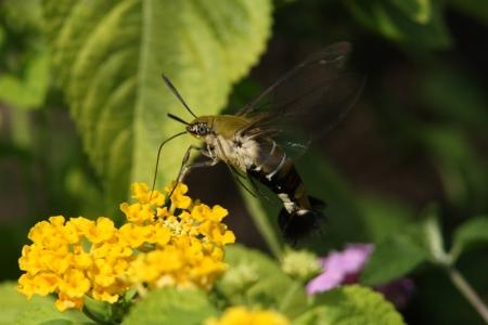 pellucid: Pellucid hawk polilla a chupar el n�ctar en Lantana mientras que asoma