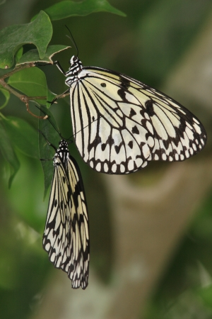 'living organism': Two dogs butterfly to stay hanging on