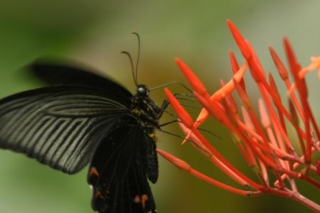 spangle: Spangle to sucking nectar Stock Photo