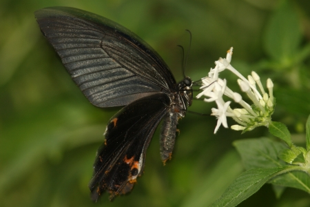 spangle: Spangle to nectar sucking in pentasulfide