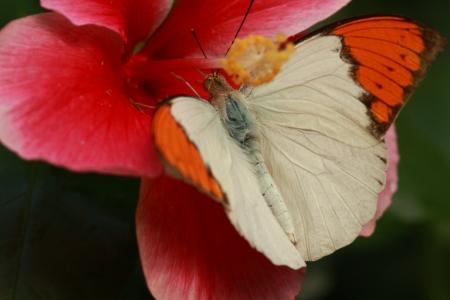 pieridae: Male great orange tip to sucking nectar Stock Photo