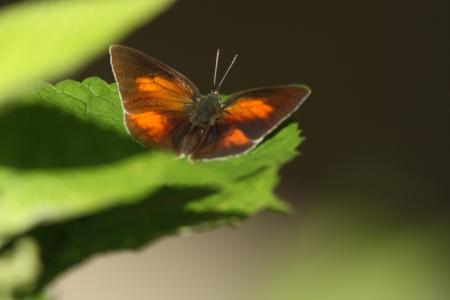lycaenidae: Male Uraginshijimi