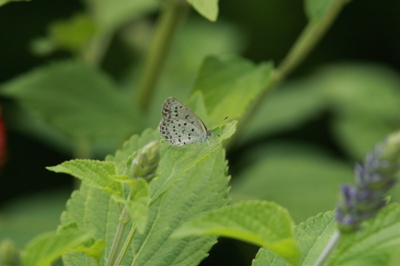 lycaenidae: Corbicula japonica