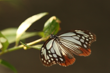 imago: Male chestnut tiger butterfly