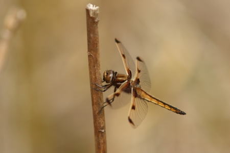 endangered species: Endangered species tortoise shell dragonfly Stock Photo