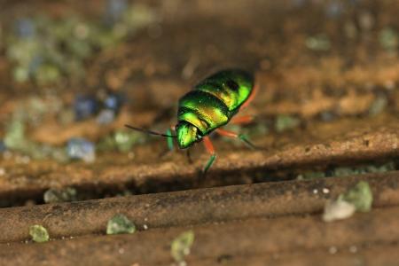 kin: Miyako Kin bug Stock Photo
