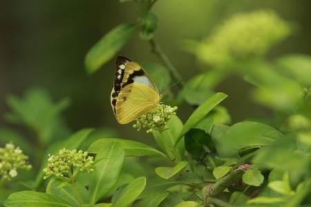 pieridae: Female Namie white butterfly sucking nectar to