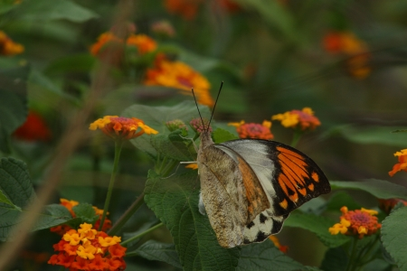 pieridae: Female great orange tip