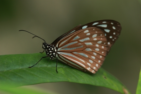 imago: Ryukyu chestnut tiger butterfly