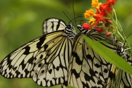 flocking: Butterfly to nectar sucking and flocking to milkweed