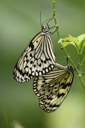 copulation: Copulation of butterfly of