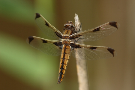 endangered species: Endangered species tortoise shell dragonfly  immature