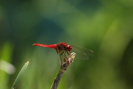 scarlet: Scarlet dragonfly