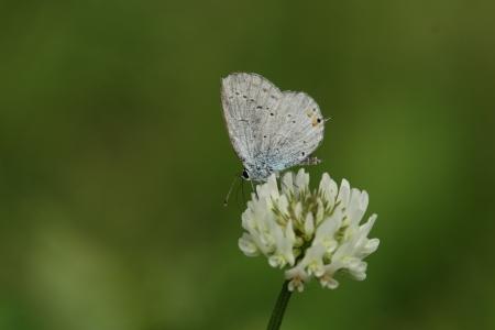 lycaenidae: Short-tailed blue to sucking nectar in clover Stock Photo