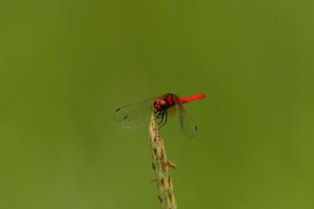 imago: Nannophya pygmaea