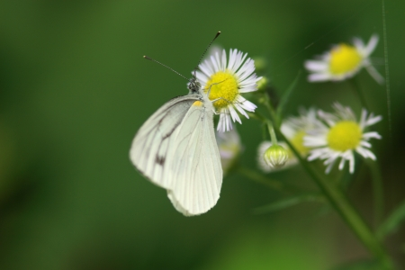 pieridae: Melete to sucking nectar