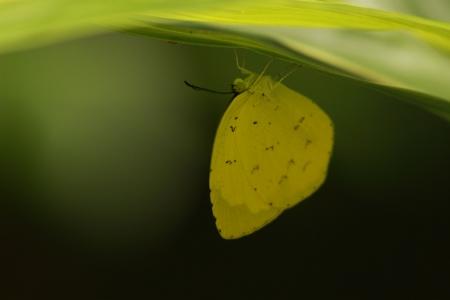 pieridae: Kitakichou