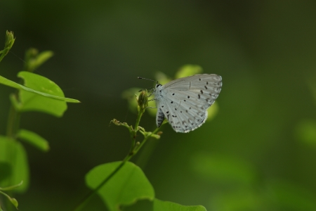 lycaenidae: Rurishijimi Stock Photo