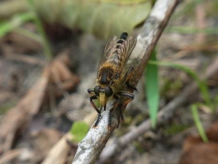 promachus: Promachus yesonicus