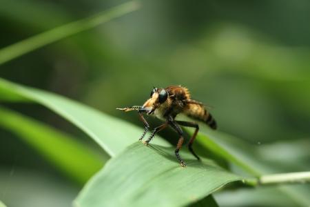 asilidae: Promachus yesonicus