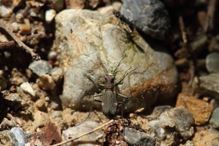 tiger beetle: Niwa coleottero tigre