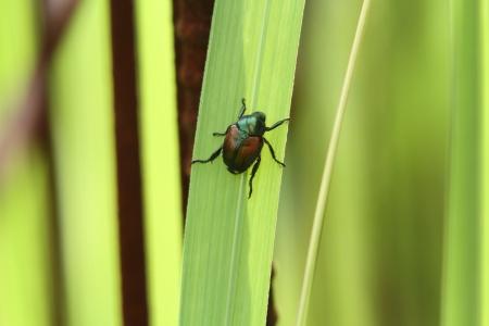 scarabaeidae: Japanese beetle