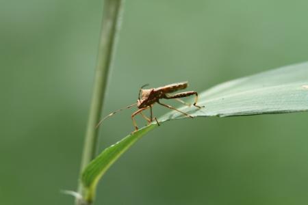 imago: Bombardier leaf-footed bug