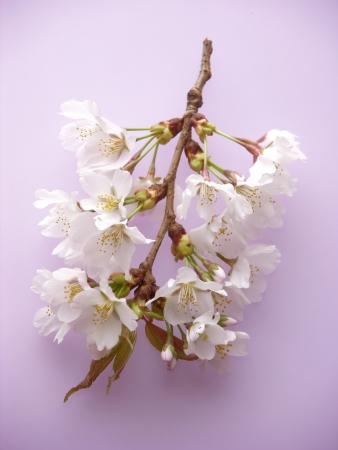 "Sakura ""wild cherry tree"" photo"
