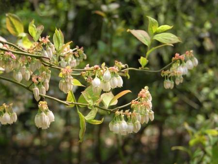 ericaceae: Fiori di mirtilli