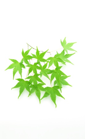 Acer palmatum young leaves Stock Photo - 23599648