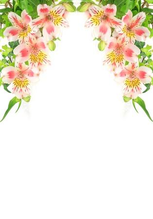 alstroemeria: Alstroemeria Stock Photo