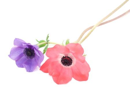 anemone flower: Anemone fiore