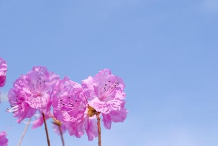 ericaceae: Fiori Genkaitsutsuji