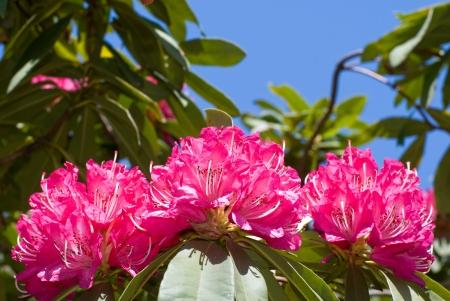 ericaceae: Western ku Shin  inner ge Flowers  Aozora Stock Photo