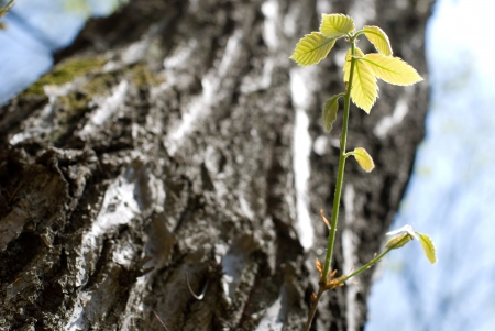 fagaceae: Young leaves of the tree of Quercus Stock Photo