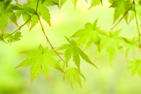 aceraceae: Verdure of Irohakaede Stock Photo