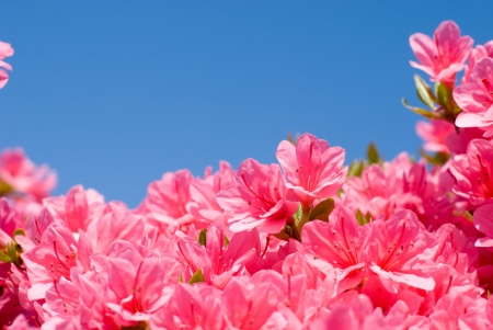 ericaceae: Blue sky and flowers of Kurume azalea