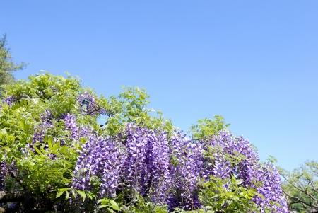 leguminosae: Blue sky flowers and purple Nodafuji
