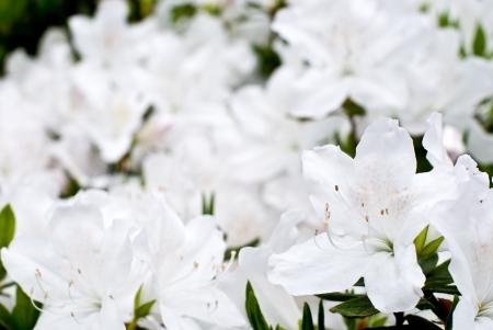 ericaceae: Flower of white Ryukyu azalea