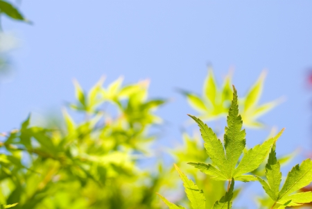 aceraceae: Blue sky and fresh green maple Stock Photo