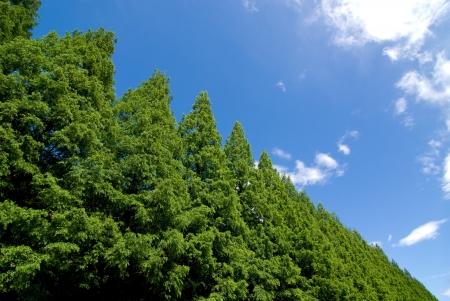 metasequoia: Sky and fresh green of Metasequoia