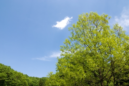 fagaceae: Trees and sky chestnut forest fresh green
